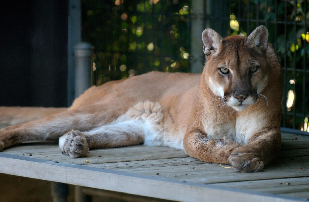 Watch Cougar On Porch Of Brookfield Wisconsin Home