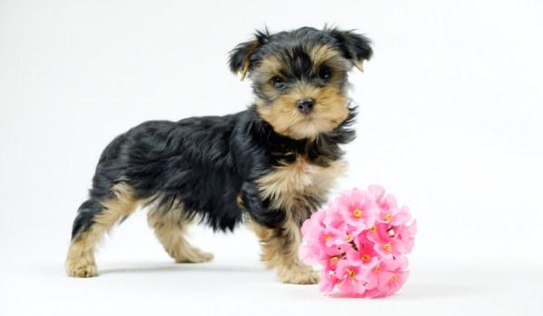 Йоркширский терьер собака: фото, характер, описание породы