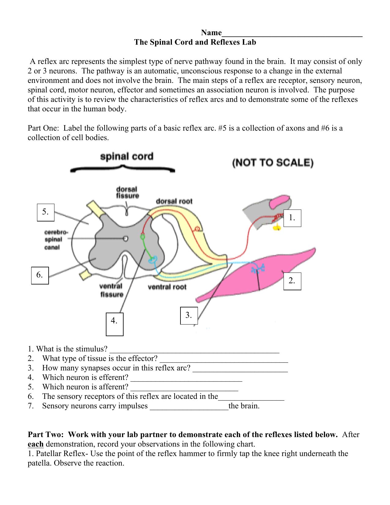 30 Reflex Arc Diagram To Label