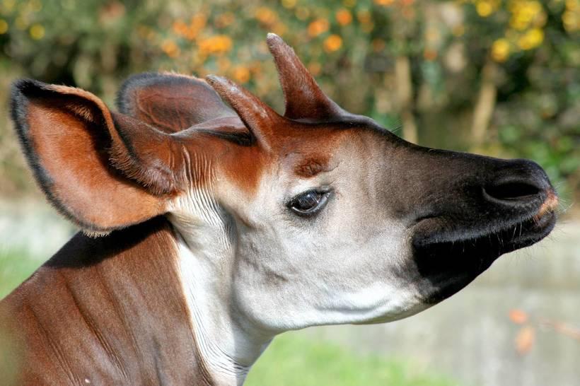 Удивительный окапи: редкий жираф с короткой шеей и ногами зебры