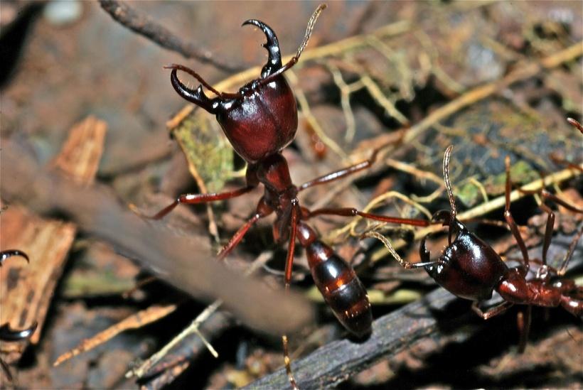 Путешествие длиною в жизнь: как живут необычные муравьи-кочевники