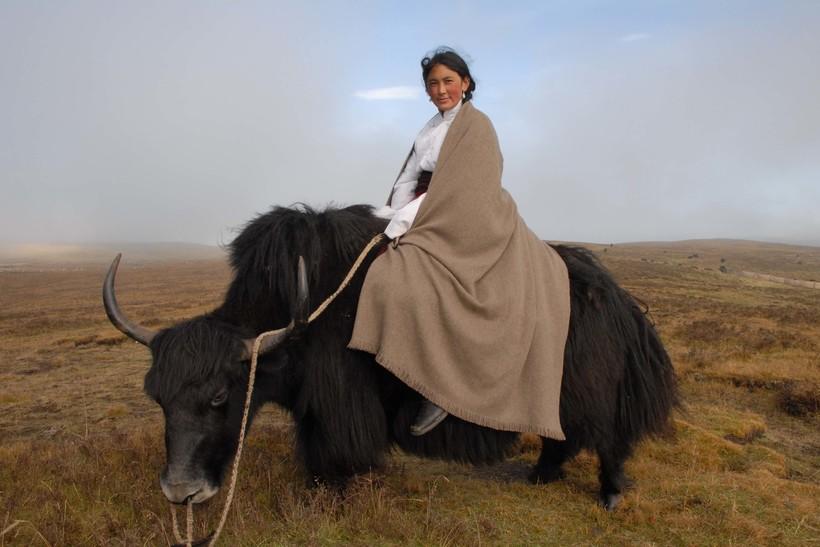 Яки — уникальные животные, без которых невозможна жизнь в Тибете