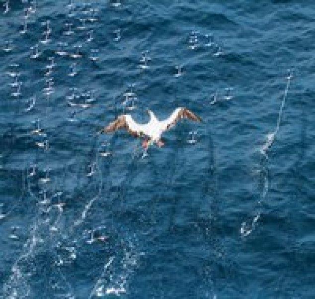 Три десятка метров: почему некоторые кальмары умеют парить над водой