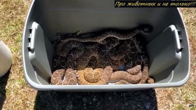 Видео: Дом с гремучим секретом — у американца в подполе жили 67 змей