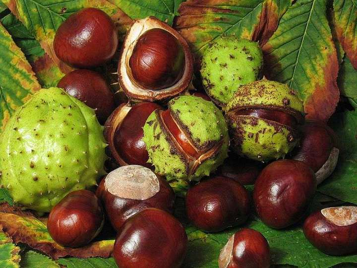 Conkers Warning to Dog Owners