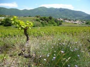 FRADRow  Drôme Vigne P1000252w