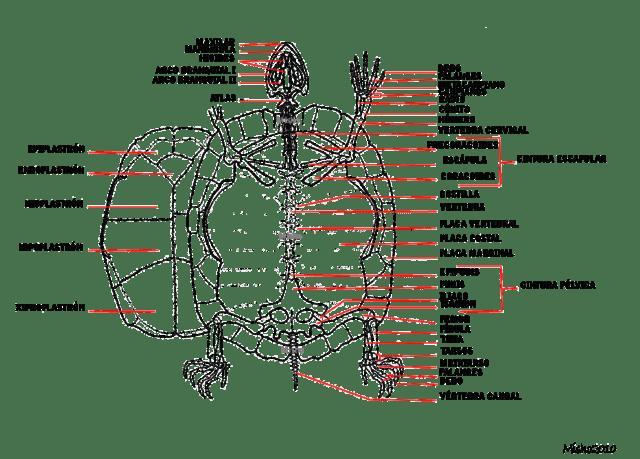 Resultado de imagen para anatomia de la tortuga