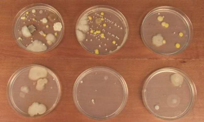 Six petri dishes growing a variety of molds and bacteria