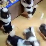 Adorable Shih Tzu Puppies Video Dailymotion