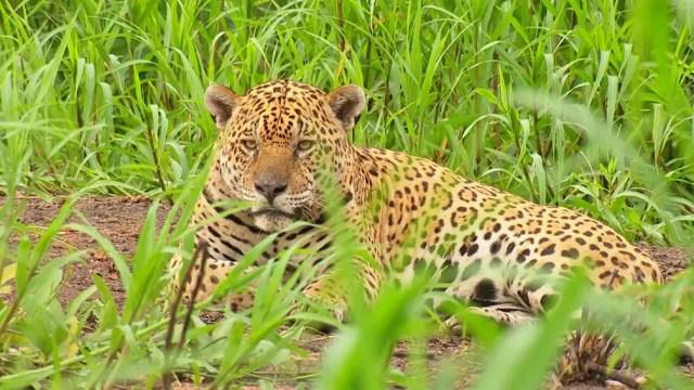 Parque no Pantanal é um dos maiores refúgios de onças pintadas do mundo — Foto: Globo Repórter