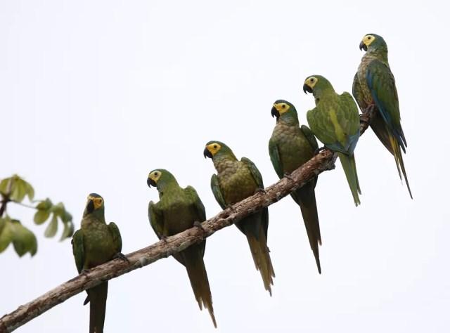 Maracanã-do-buriti, Reserva Água Doce, em Cacoal (RO) — Foto: Carlos Tuyama/Arquivo pessoal