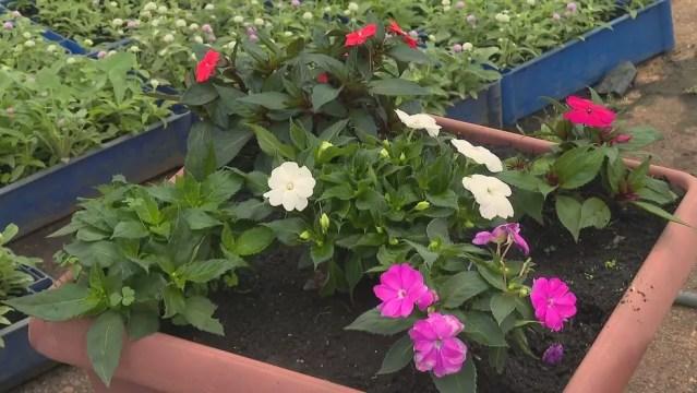 """Espécie de flor """"sunpatiens"""" está entre as recomendadas para plantio na primavera — Foto: TV Globo/Reprodução"""