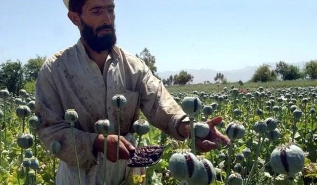 Cultivo de papoula no Afeganistão. A heroína é derivada do ópio, produzido a partir da papoula (Foto: AP )