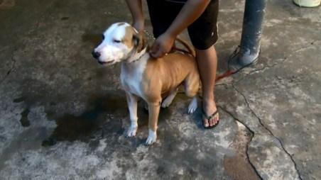 O pit bull Roque atacou um homem de 54 anos em Ribeirão Preto, SP (Foto: Luciano Tolentino/EPTV)