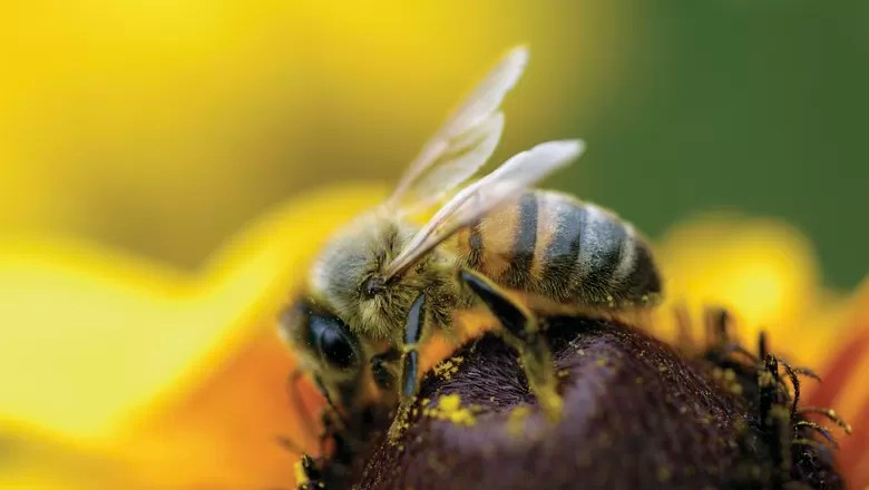 Resultado de imagem para abelha rainha