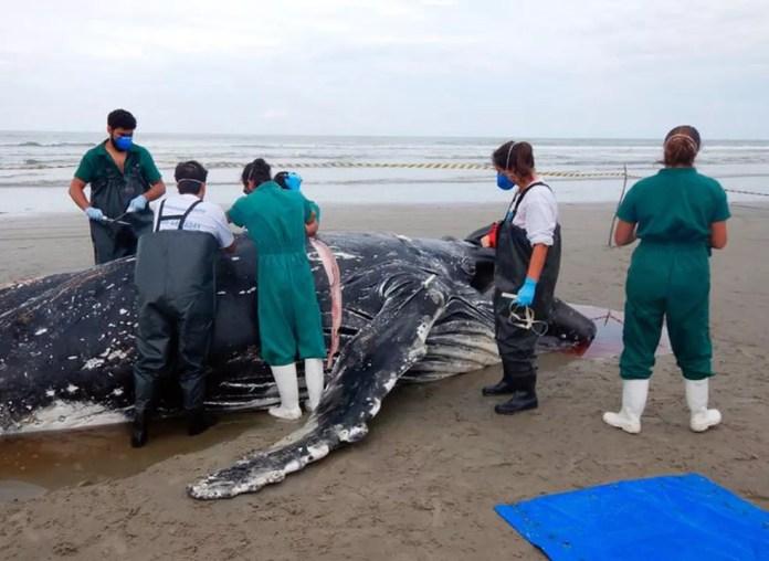 Pesquisadores colheram amostras para identificar causa da morte da baleia em Ilha Comprida, SP — Foto: Divulgação/Ipec