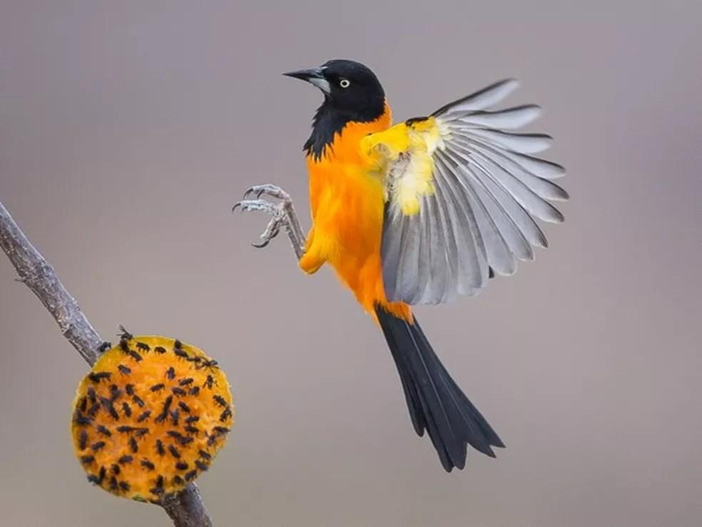 Onívora, a ave se alimenta de frutos, sementes e insetos — Foto: Fabrício Corsi Arias/Arquivo Pessoal