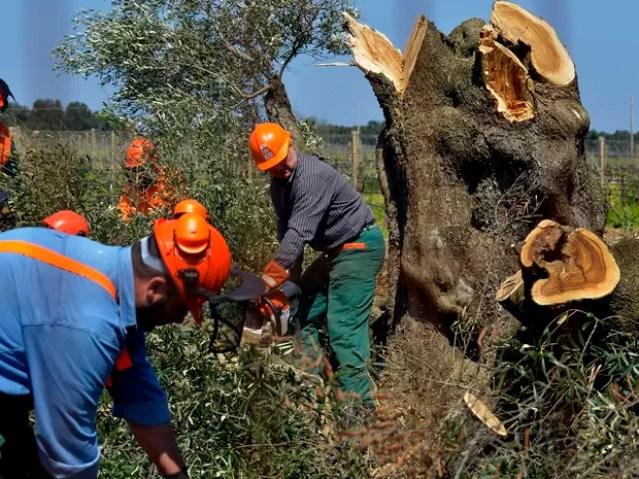 Trabalhadores cortam pé de oliveira em Oria, na Itália, em 13 de abril de 2015. Bactéria que já prejudicou plantações italianas chegou à França, informou o governo (Foto: Gaetano Loporto/AP)