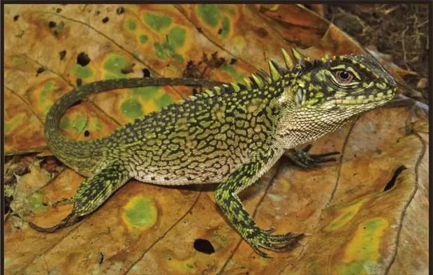 Exemplar da espécie Enyalioides binzayedi, um dos lagartos encontrados na Amazônia peruana (Foto: Reprodução/Zookeys)