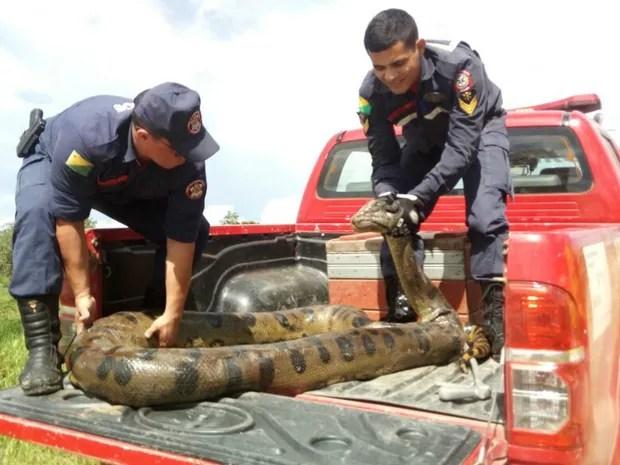 Bombeiros capturaram animal e soltaram em rio (Foto: Divulgação/Corpo de Bombeiros do Acre)
