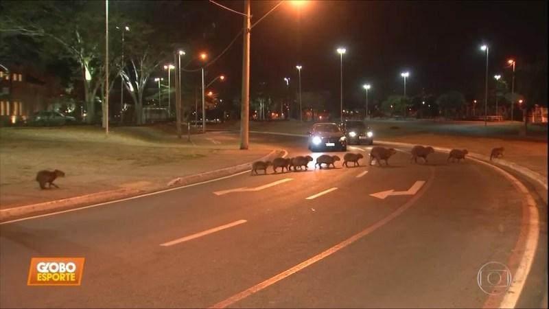 Moradores de Rio Preto estão acostumados a ver famílias de capivaras atravessando as ruas da cidade — Foto: Reprodução/TV Globo