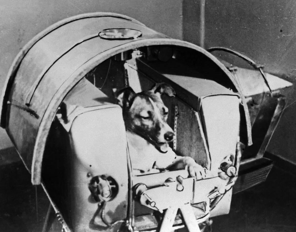 laika - foi para o espaço antes de nós (Foto: wikimedia commons)