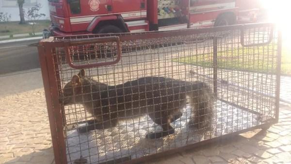 Animal foi levado para a Polícia Ambiental que fará a soltura  (Foto: Corpo de Bombeiros / Divulgação )