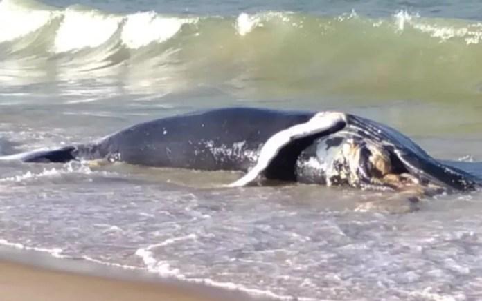 Moradores de Alcobaça, encontraram uma baleia jubarte morta na Praia do Farol (Foto: Cristna Sulz / Arquivo Pessoal)