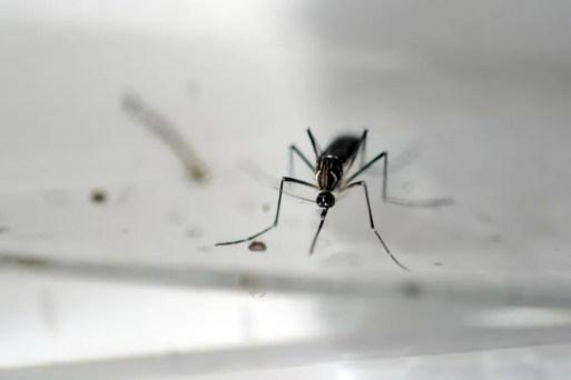 Aedes Aegypti — Foto: Marvin Recinos/AFP