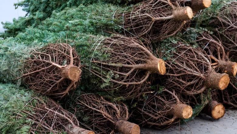 pinheiro-natural-natal-arvore-raiz (Foto: Thinkstock)