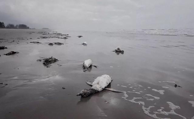 Pinguins foram encontrados mortos em Ilha Comprida, SP (Foto: Divulgação/IPeC)