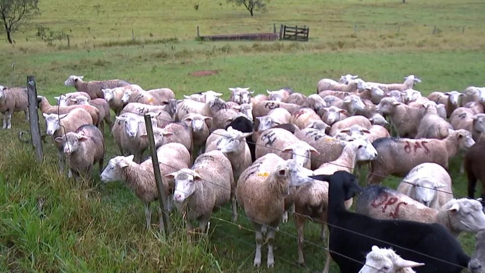 Bahia supera Rio Grande do Sul e passa a ter maior rebanho de ovinos do país, aponta levantamento. (Foto: Reprodução/TVTEM)