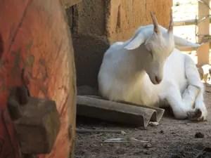 Animais têm trânsito livre pelo quintal da casa de Dona Albertina. (Foto: Jenifer Carpani/G1)