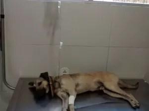 Cão é atendido em clínica na serraria após ser envenenado (Foto: Arquivo Pessoal/Naíne Teles)
