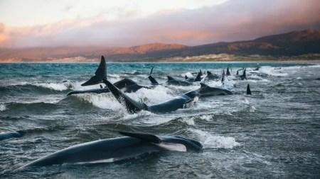 Baleias encalhadas na Nova Zelândia — Foto: Liz Carlson/BBC