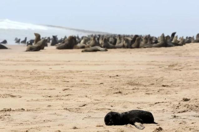 Filhote de foca morto diante de outras focas em praia na Namíbia nesta sexta-feira (23) — Foto: Karin Coetzee/Reuters