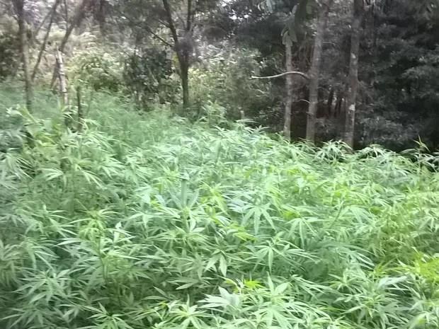 Plantação de maconha foi encontrada em Campos do Jordão (Foto: Divulgação/ Polícia Militar)