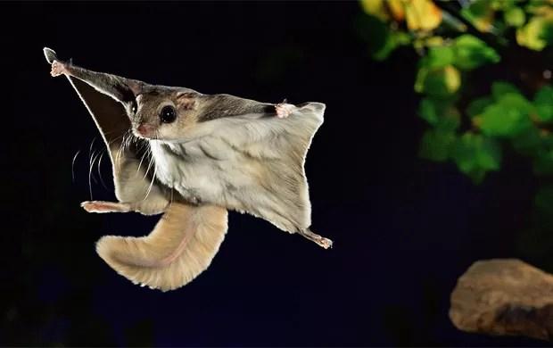Esquilo voador é flagrado em pleno voo entre galhos de árvores (Foto: Kim Taylor/Caters)