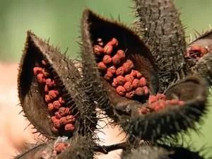 Cada urucum produz aproximadamente 15 quilos de sementes (Foto: Reprodução/ TV TEM)