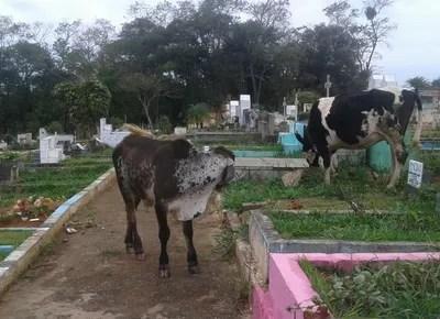 vacas_cemiterio_velorio (Foto: Arquivo pessoal)