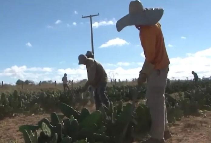Presos em regime semi-aberto trabalham no plantio de palma em Vitória da Conquista — Foto: Divulgação/TV Bahia