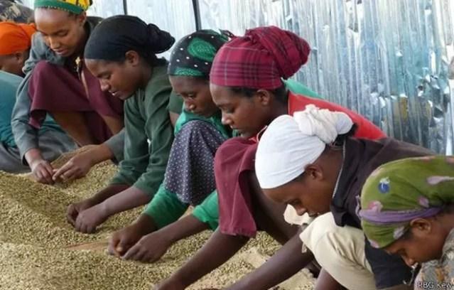 Levado para colônias, café é produzido em climas tropicais  (Foto: RBG KEW/BBC)