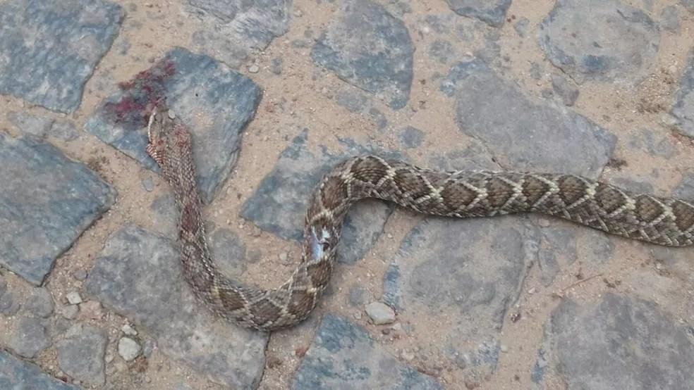 Vereador picado por cobra mata animal com dentada na Paraíba