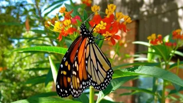 As borboletas monarcas são os únicos insetos a fazer uma migração tão longa  (Foto: Monarch Watch)