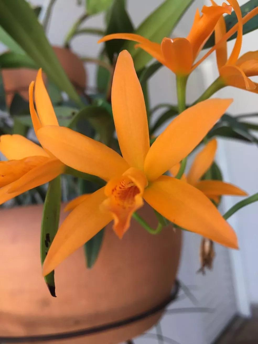 Juliana Arrantes, do Bairro Jardim Patrícia, em Uberlândia também mostrou as orquídeas dela. (Foto: Juliana Arantes da Silva/Arquivo Pessoal.)
