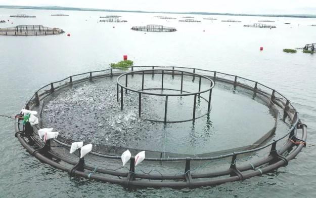 Tanque-rede de cultivo de tilápias da empresa Tilabras em reservatório de hidrelétrica em Três Lagoas, MS — Foto: Tilabras/Divulgação