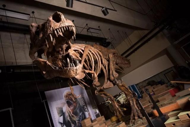 Esqueleto de Tiranossauro Rex encontrado no Canadá é o maior do mundo — Foto: AFP PHOTO / UNIVERSITY OF ALBERTA / AMANDA KELLEY