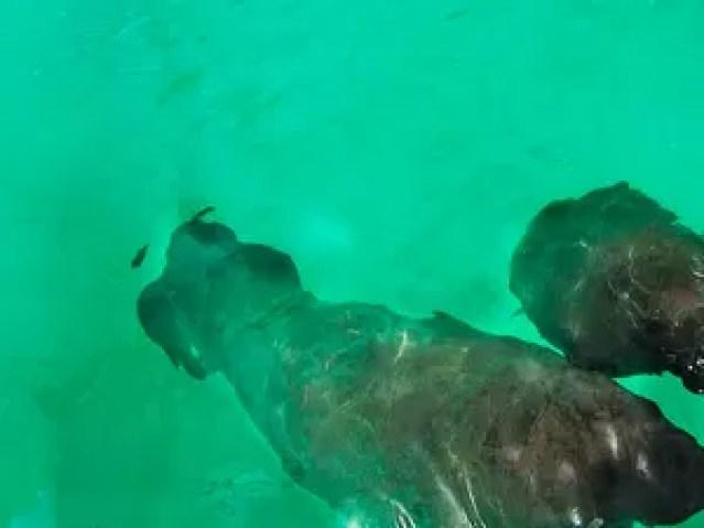 peixe-boi-marinho (Foto: Paulo Santana/TG)