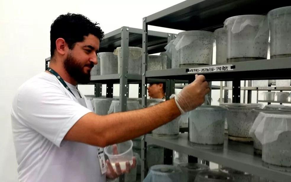 Mosquitos Aedes do Bem (transgênicos) são alimentados com água e açúcar em fábrica de Piracicaba (Foto: Claudia Assencio/G1)