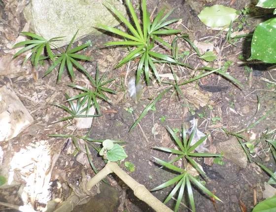 A regeneração da palmeira juçara acontece de maneira natural, com a sementes que caem das árvores na terra e brotam novas mudas (Foto: Divulgação)